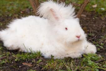 Fluffy angora rabbit