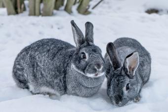 Giant Chinchilla Rabbit History, Facts & Care