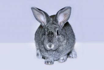 Rabbit breed of gray silver chinchilla