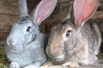 grey and brown rabbits