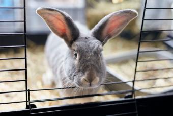 pet rabbit in cage straw floor