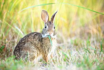 wild rabbit in field eating grass