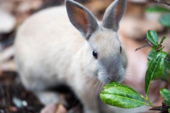 rabbit eating wet leaf