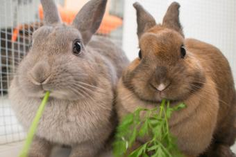 two pet rabbits eating greens