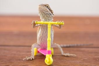 trained bearded dragon lizard riding scooter