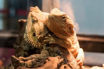 bearded dragons lizard in tank