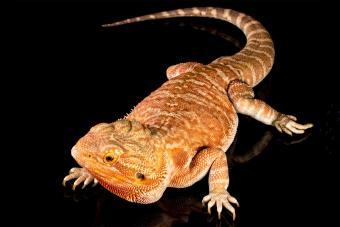 orange color bearded dragon lizard