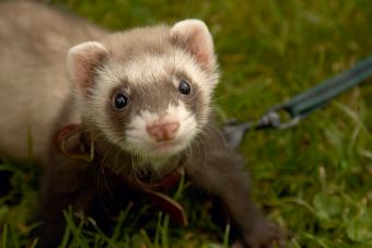 Ferret Care Guide for New Pet Owners