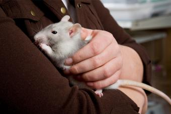 Young girl holding a rat