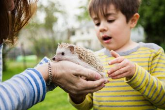 Mother and son playing with domesticated hedgehog