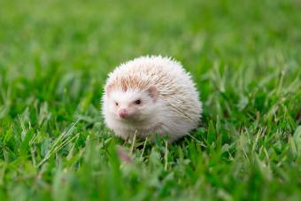 Close-Up Of Albino Hedgehog On Field