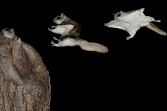 Flying Squirrel Pet Guide: Pros, Cons & Care Tips