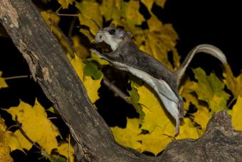 Southern Flying Squirrel gliding from tree to tree