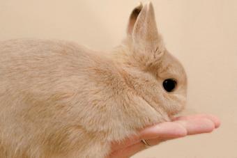 Netherland dwarf bunny resting in palm of hand