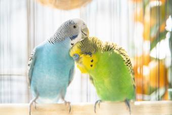 Two parakeet preening