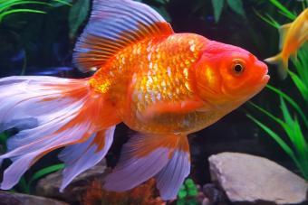 120 Marvelous Pet Goldfish Names
