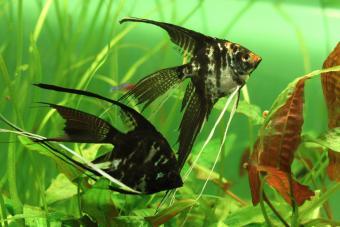 Pterophyllum scalare, angelfish or freshwater angelfish