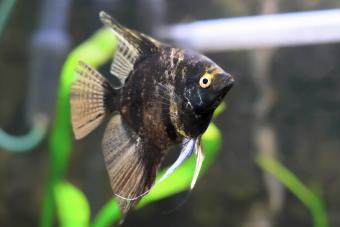 Aquarium Fish- Black Scalare in water