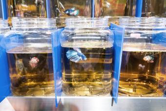 Fighting fish isolated in quarantine
