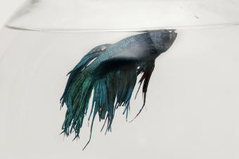 6 Most Common Betta Fish Diseases and Treatments