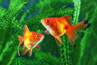 Goldfish background of aquatic plants