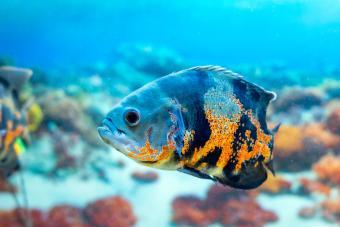 Oscar fish popular aquarium fish