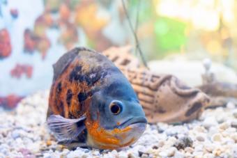 oscar fish in aquarium