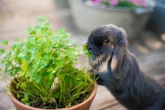 Mini lop eared rabbit eating herbs