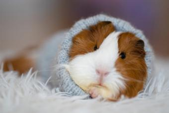 Is My Guinea Pig Dying? Know the Common Signs