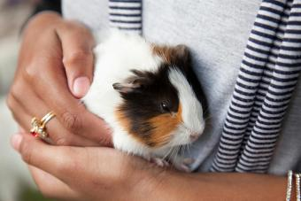 Woman holding guinea pig