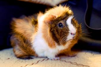 Abyssinian Satin Guinea Pig