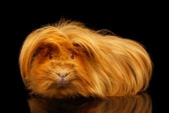 Peruvian Satin Guinea Pig