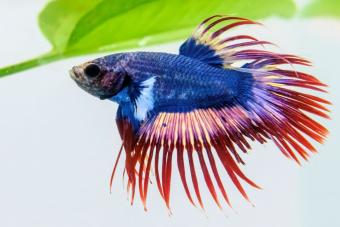 Siamese fighting fish also known as Plakad or Betta fish