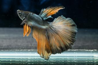 14 Interesting Betta Fish Facts That Might Surprise You