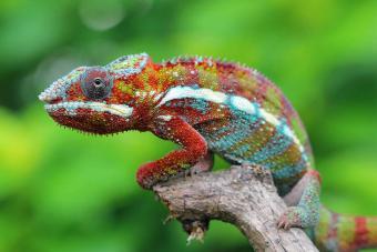 Multi-colored Chameleon sitting on branch