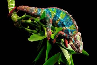 colourful panther chameleon