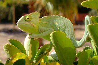 Chameleon Taking while sun