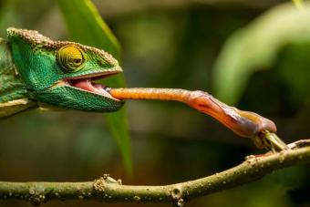 Chameleon flicking tongue to catch grasshopper
