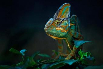 Chameleon On Plants At Night