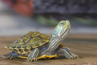 How to Tell if Your Turtle Is Dying: Typical Signs