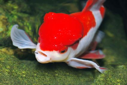Goldfish ick lovetoknow for What is ick in fish