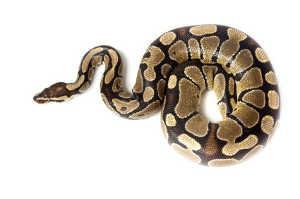 Adult Ball python