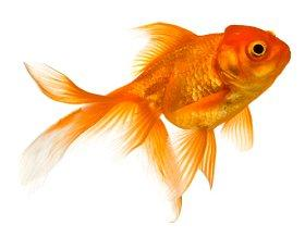 What do goldfish eat lovetoknow for Can you eat koi fish
