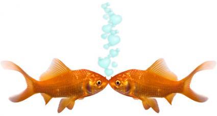 A pair of goldfish