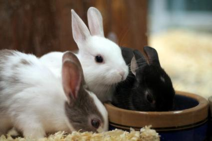 Three pet rabbits