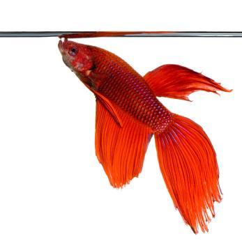 Betta fish illness lovetoknow for Do betta fish sleep on the bottom of the tank