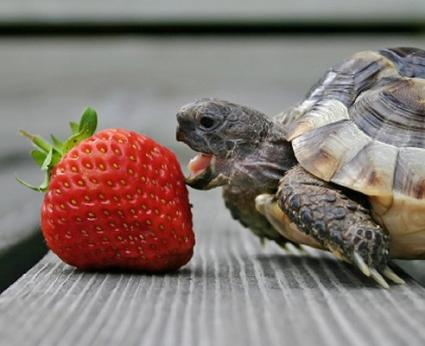 box turtle eating strawberry