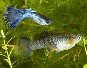 Gestation period for guppies lovetoknow for How long do fish stay pregnant