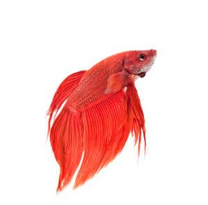 Betta fish care instructions lovetoknow for How long do fish stay pregnant