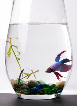 Betta in a large vase